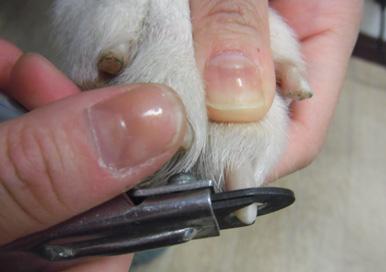[プロトリマーが教える]ワンコのおうちでの爪切りのやり方